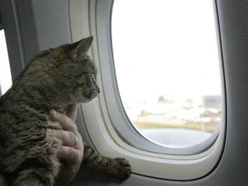 Consejos para viajar con gatos en avión1 Consejos para viajar con tu gato en avión